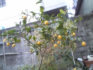 レモンの実13年12月②