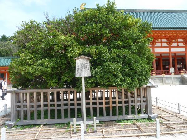 平安神宮右近の橘9