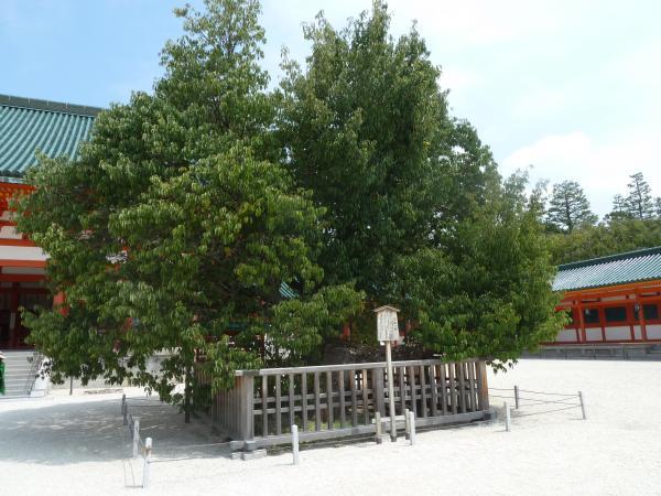平安神宮左近の桜8