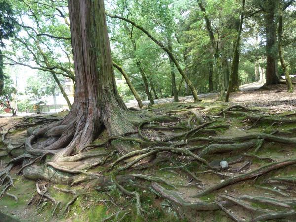 東大寺木の根2