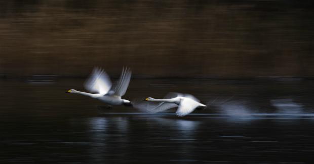 白鳥 SS流し撮り