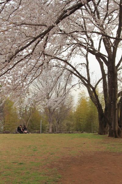 IMG_8677八幡山公園 さくら八幡山公園 さくら