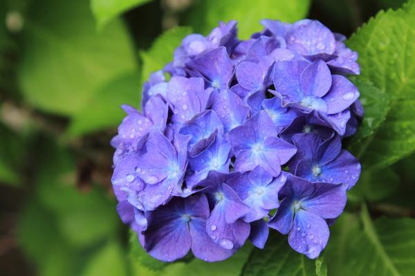 IMG_0638雨の紫陽花雨の紫陽花
