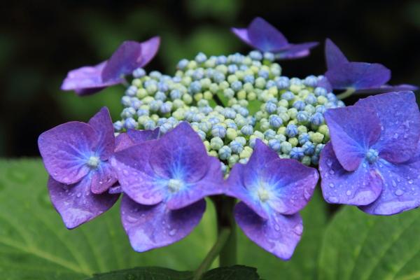 IMG_0643雨の紫陽花雨の紫陽花