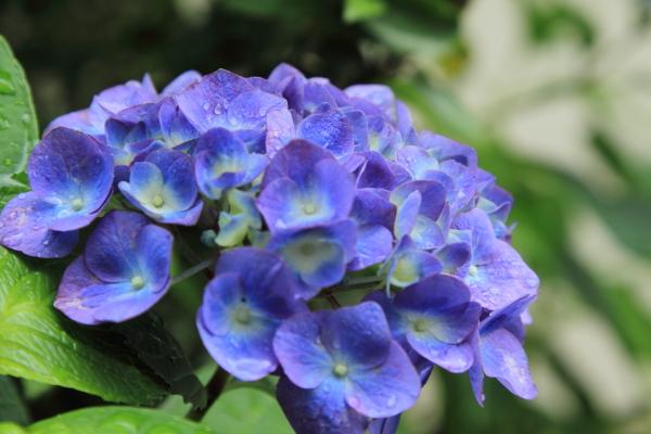 IMG_0650雨の紫陽花雨の紫陽花