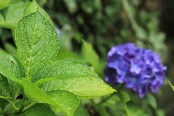 IMG_0654雨の紫陽花雨の紫陽花