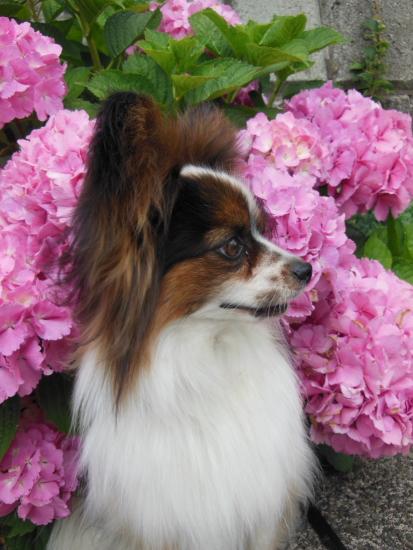 DSCN0334雨の紫陽花 犬