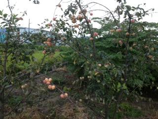 彦根りんご