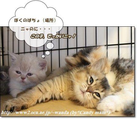 エキゾチック ソマリ 子猫写真