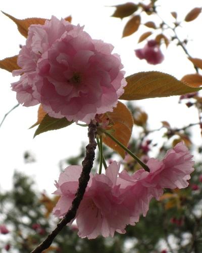 130406八重桜