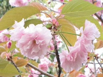 130412八重桜
