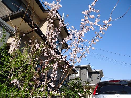 1304sakura001.jpg