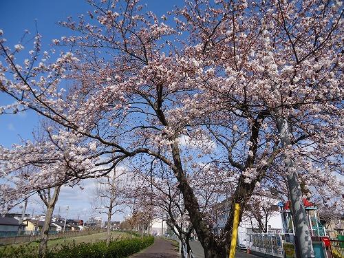 1304sakura002.jpg