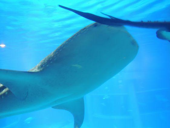 ジンベイサメ3