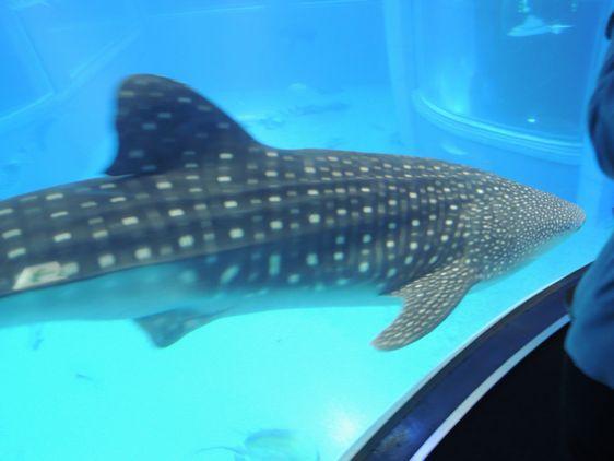 ジンベイサメ1