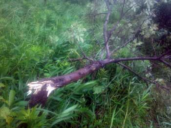 強風で倒木