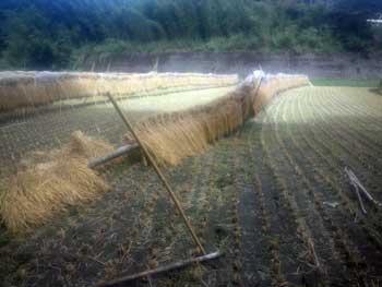 暴風にて倒れた稲架