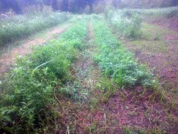 畝間の草刈り