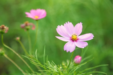 GAK85_pinkkosumosu500-thumb-390_jpgauto-3507.jpg