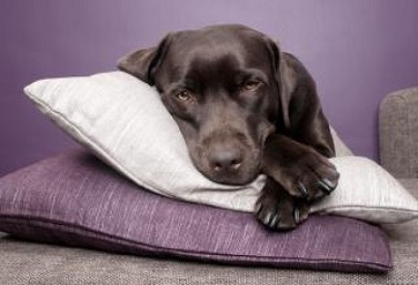 labrador-dog-lying-on-pillows_19-130868.jpg