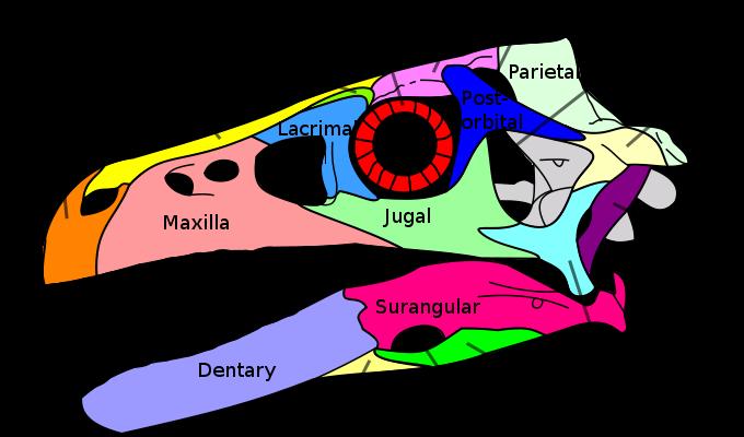 Dromaeosaurus-skull.png