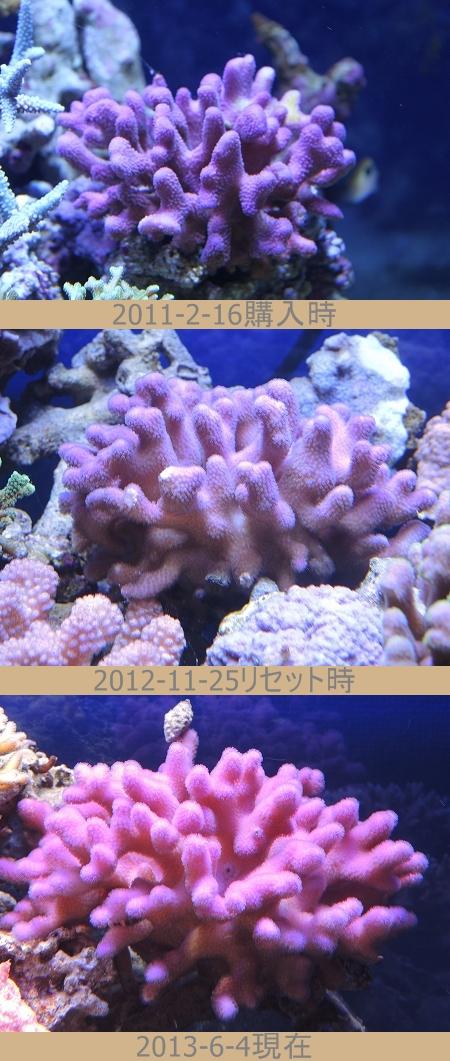 ショウガ珊瑚ピンクの成長