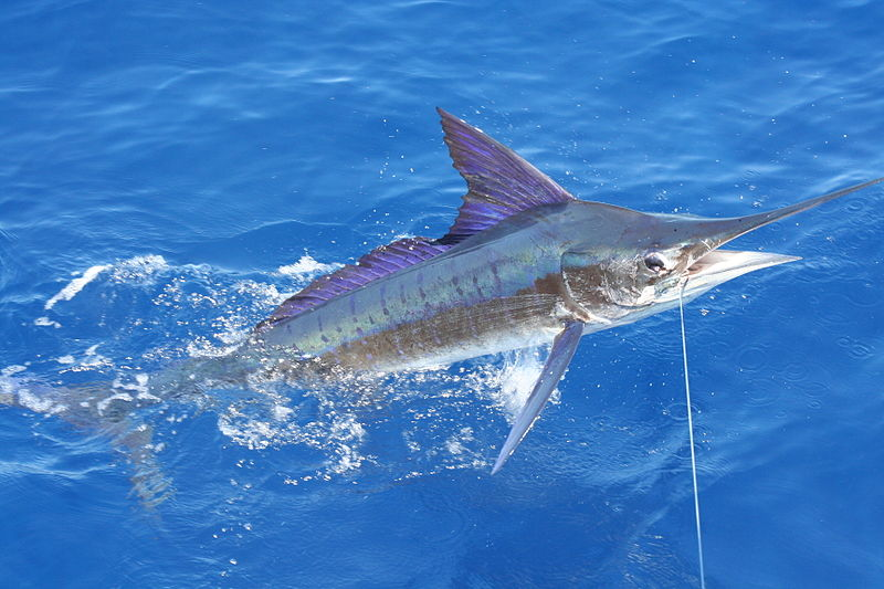 800px-Stripe_marlin_right_off_the_coast_of_Carrillo.jpg