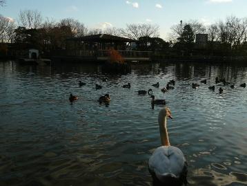20131228白鳥の池 (3) 圧縮