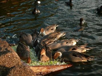 20131228白鳥の池 (4) 圧縮