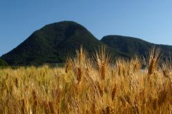 kagawa-wheat-1.jpg