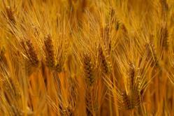 kagawa-wheat-2.jpg