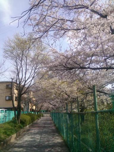 2013 04sakura