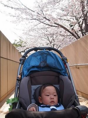桜咲いたら~♪