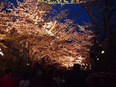 ライトアップで夜桜が光ってるみたい。