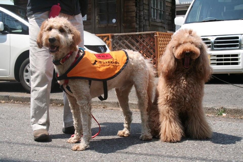 ゴールデンドゥードル 日本初の補助犬! でん君のお里帰り♪