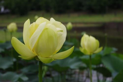 yellowlotus_convert_20130704212528.jpg