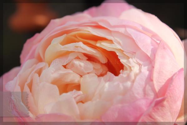 謎のバラ 20131228