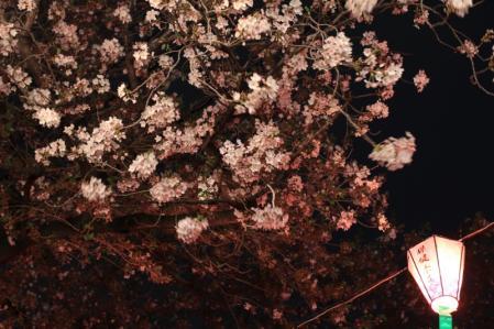 夜桜_800