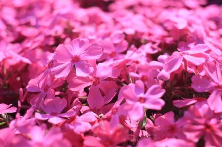 芝桜_800