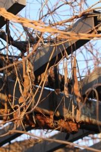 冬の藤棚。_800