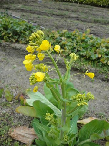 菜種菜の花②