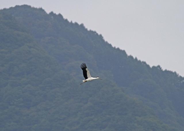 コウノトリ飛翔1