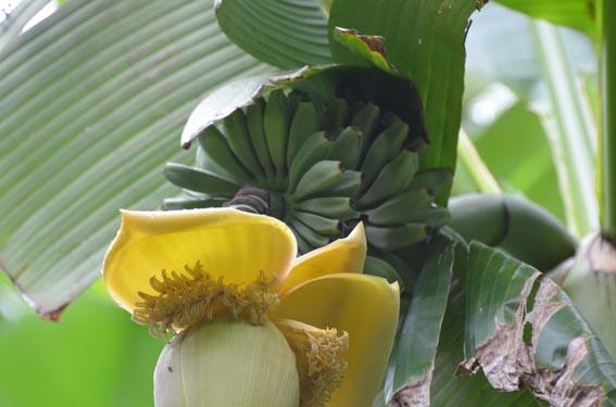 banana_20130628_DSC_9507.jpg