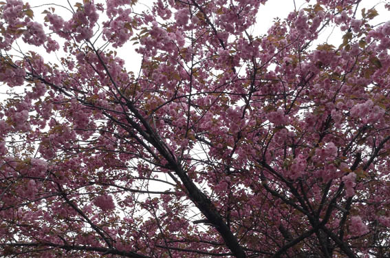 sakura_20130525_IMG_0030.jpg