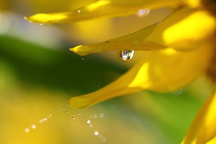 a_Sunflower.jpg
