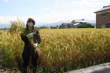 イタリア米刈取り