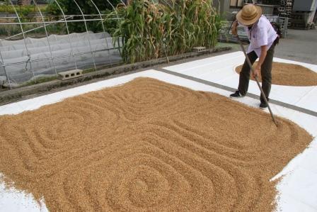イタリア米乾燥