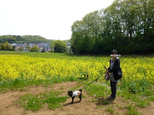 130414菜の花畑