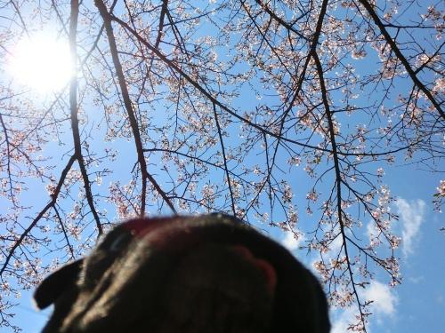 130422桜