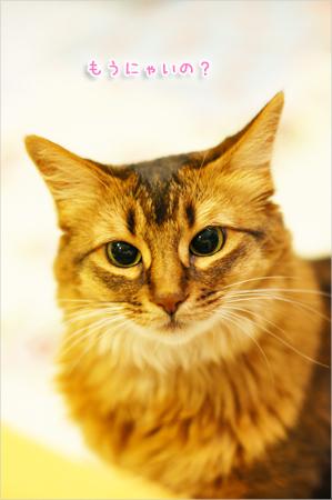 おねだりする猫@ソマリ